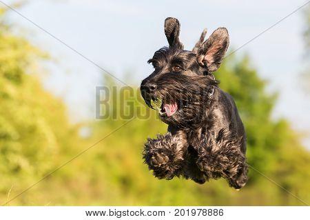 Flying Black Standard Schnauzer Dog