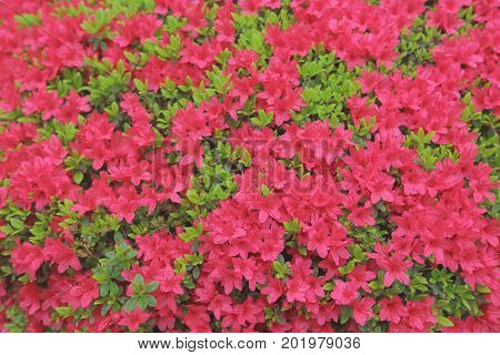 the flower bed of Rhododendron at japan