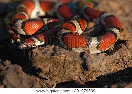 A red milksnake photographed in north western Missouri late in the afternoon.