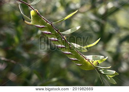 On a branch spiraea there is a big green caterpillar with interesting drawing.
