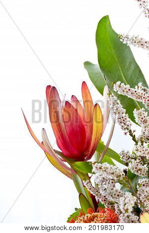 Orange Red Protea Flower Against White Background With Small White Flowers