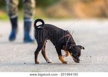 Pinscher Hybrid Puppy Sleuths On The Asphalt