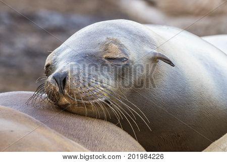 California Sea Lion (Zalophus californianus) - San Diego California