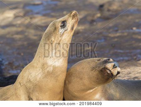 Male California Sea Lions Battling Over Territory - San Diego, California