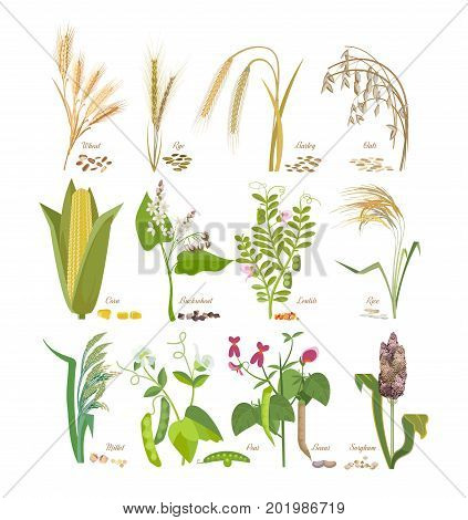 Set of cereals and legumes, grain plants with leaves, flowers, seeds: wheat, rye, barley, oats, corn, millet, sorghum, rice buckwheat peas beans lentils Agriculture harvest Vector illustration