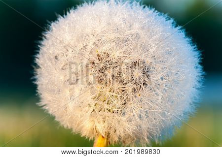 Dandelion in early morning with rays of sunlight. Outdoors horizontal closeup image.