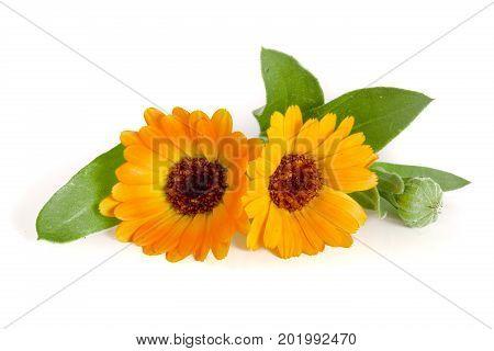 Calendula. Marigold flower with leaf isolated on white background.