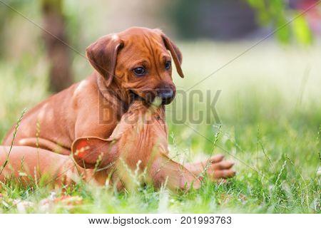 Two Rhodesian Ridgeback Puppies Romp Outdoors