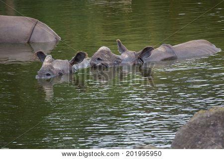 Indian rhinoceros (Rhinoceros unicornis) swimming. Wildlife animal.