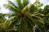 Palm tree in the lush rain forest in the Portland Parish on the East Coast of Jamaica on 30 December 2013. poster