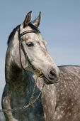 grey in apples stallion poster