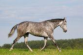 grey axaltek stallion poster