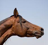 arabian bay horse poster