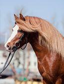 Portrait of chestnut welsh pony poster