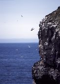 arctic gulls of the coast of grimsey, iceland ** Note: Slight blurriness, best at smaller sizes poster