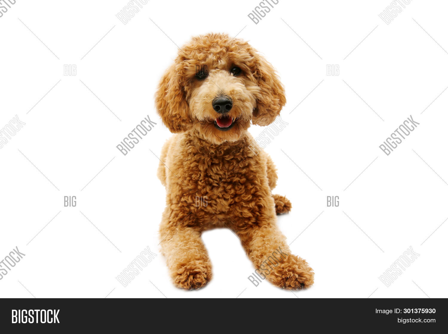 Golden Doodle Dog  Image & Photo (Free Trial) | Bigstock