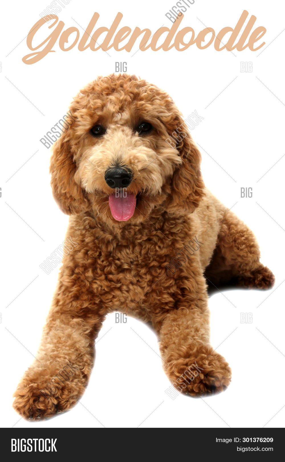 Golden Doodle Dog  Image & Photo (Free Trial)   Bigstock