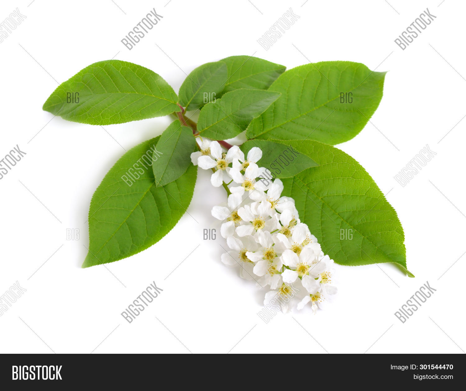 Prunus Padus Known Image Photo Free Trial Bigstock