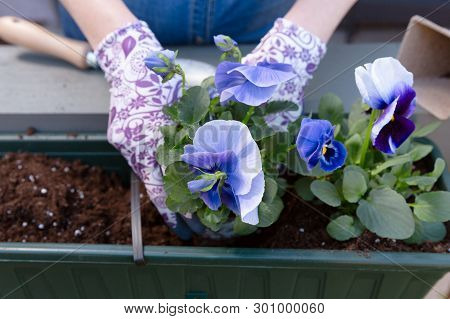 Gardeners Hands Planting Flowers In Pot With Dirt Or Soil In Container On Terrace Balcony Garden. Ga
