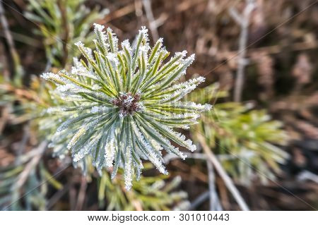Closeup Of Ice Crystals Forming On Pine Cone Needles