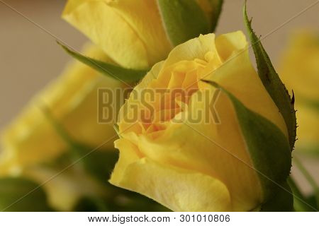 Miniature Yellow Roses With Green Leaves Showing Their Beauty.