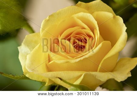 A Miniature Yellow Rose With Green Leaves Showing Its Beauty.