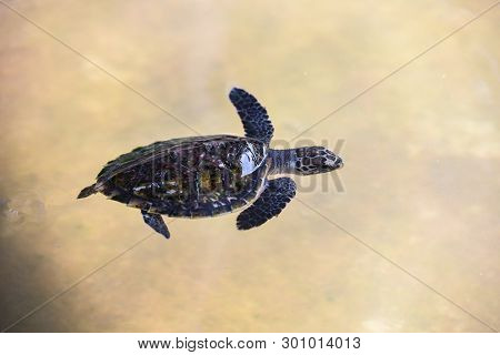 Hawksbill Turtle Little Baby 2-3 Months Old / Sea Turtle Swimming On Water Pond On The Farm