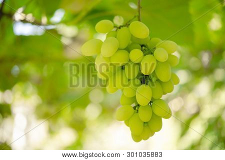 Close-up Image of Ripe Bunche of the White Wine Grapes on the Vine