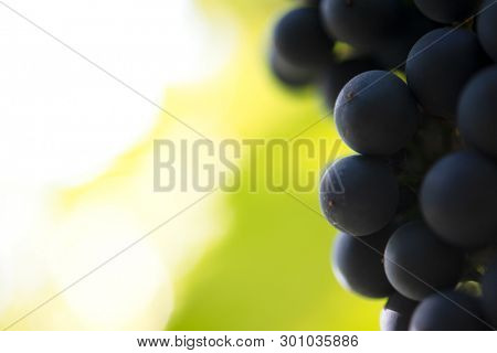 Close-up Image of Ripe Bunche of the Red Wine Grapes on the Vine
