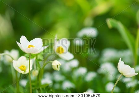 White Woodland Anemones Grow Against A Green Background In A Spring Garden.