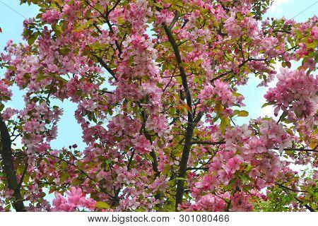 Pink Abloom Japanese Cherry (sakura) Blossom In Sunny Spring Day