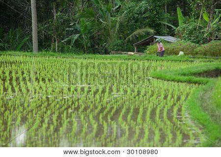 balinesische Reisfelder
