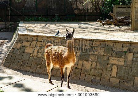 March 2019: Guanaco (lama Guanicoe) In Barcelona Zoo.