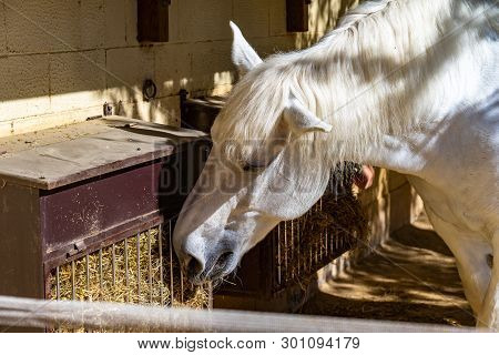 March 2019: White Horse (equus Ferus Caballus) In Zoo Barcelona.