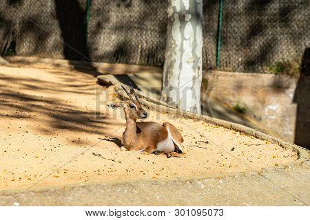 March 2019: Saharian Dorcas Gazelle (gazella Dorcas Osiris) In Zoo Barcelona.