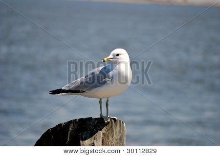Seaull on a Post