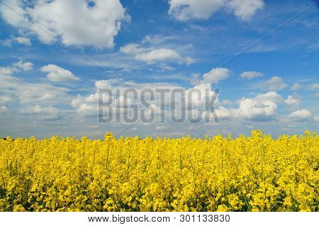Rapeseed (brassica Napus), Also Known As Rape And Oilseed Rape Is A Bright-yellow Flowering Member O