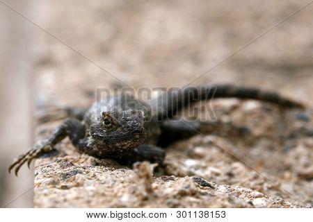 Western fence lizard. Scientific Name
