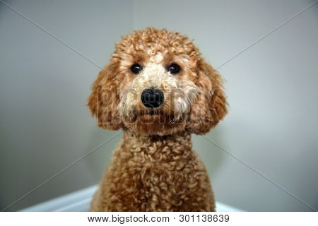 Golden doodle dog. Beautiful Golden Doodle Dog portrait. Family pet.
