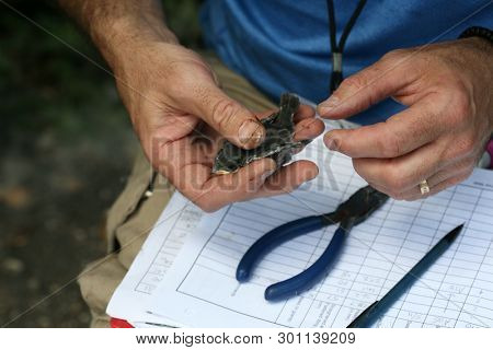 Tree Swallow aka Tachycineta bicolor. Ornithologist weighs, measures, and bands 9 day old fledgling tree swallows for research. scientific research. Banding birds as method to study migrations.
