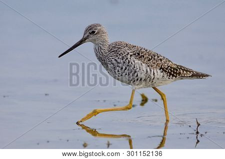 Greater Yellowlegs Shows Off Its Long Yellow Legs As It Strides Through Shallow Water Along The Shor