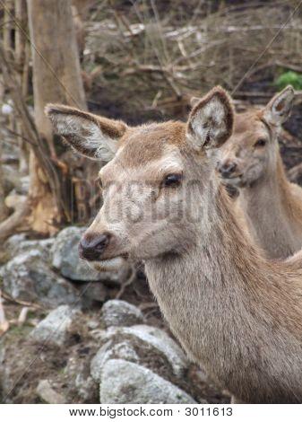 Female Red Deer Portrait