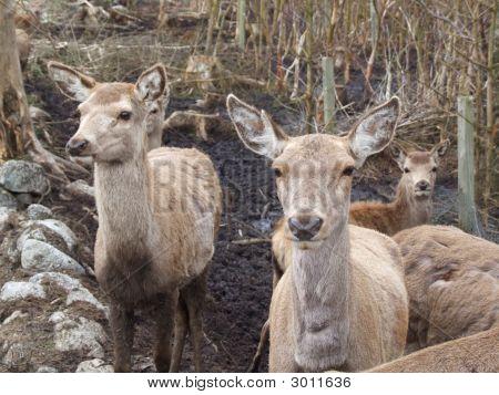Red Deer Female Herd