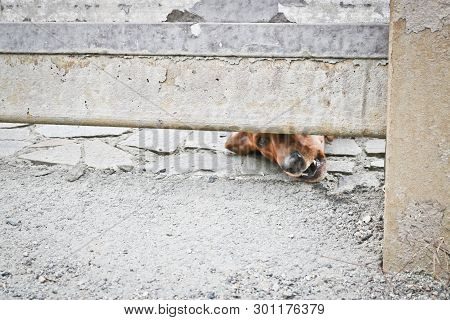 The Dog Is Guarding The House And Looking At The Passersby. Brown German Badger-dog - Guard Dog. Com