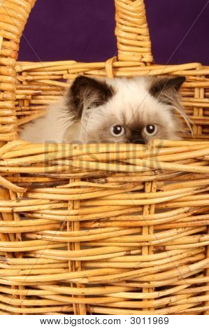 close up of himalayan persian kitten in cane wicker basket poster