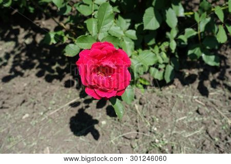 Cerise Red Flower Of Garden Rose In May