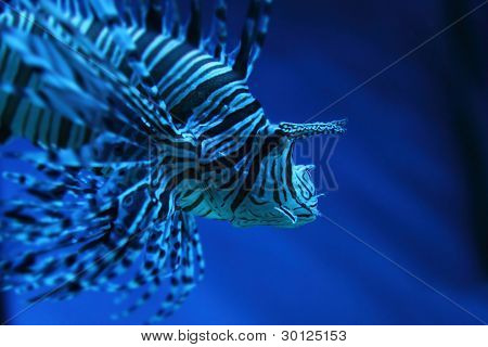 Lion Fish (dragonfish, Scorpionfish)