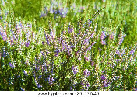 An Abstract Background Of The Heather Flowering
