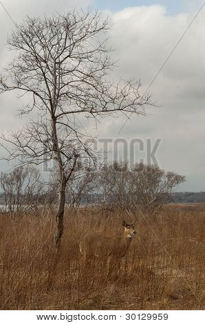 Doe in winter field