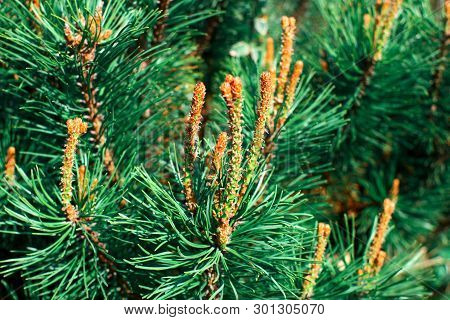Pine branches with young runaways. Green pine twigs on  bright sunny day. poster